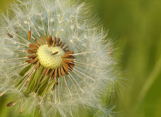 dandelion-797997_1920<div class='url' style='display:none;'>/</div><div class='dom' style='display:none;'>kirche-schoeftland.ch/</div><div class='aid' style='display:none;'>154</div><div class='bid' style='display:none;'>2663</div><div class='usr' style='display:none;'>336</div>